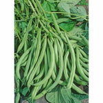 Volunteer Half Runner Bean Seed, Heirloom, Non GMO, USA Grown, Stringless Bean