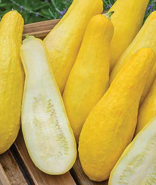 Yellow Straightneck Squash Seed, 1/2 Ounce Pack, Non GMO, 120-150 Seeds