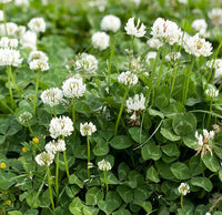 White Clover Seed, White Dutch Clover (5 lb. Pack), approx. 4 Million Seeds