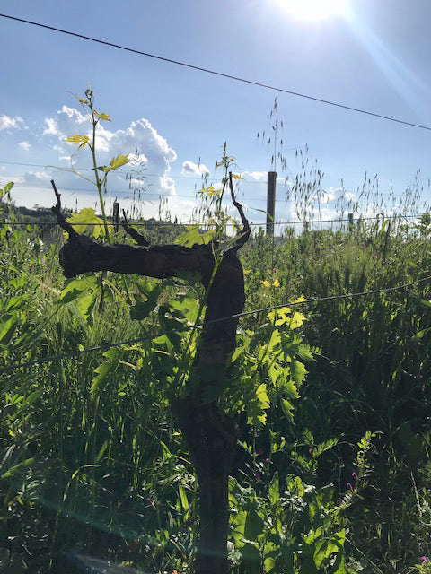 A close up shot of a vine growing in Tuscany