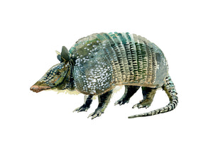 Armadillo Armor Watercolor Print