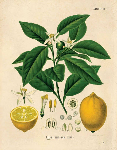 Vintage Botanical Citrus Lemon Print