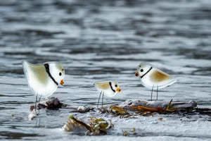 Greeting card: A family of (glass) Piping Plovers at the shoreline edge.