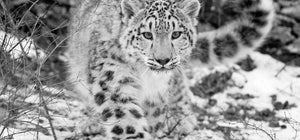 Snow leopard expedition with Gurav