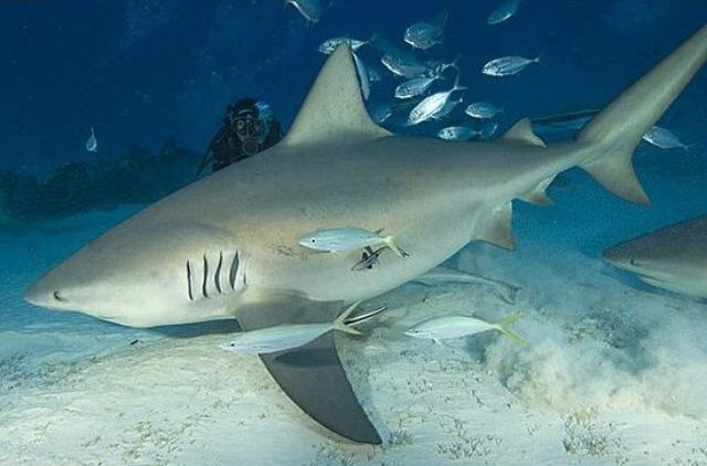 Meet the bulldog sharks in the Caribbean sea with Gabriel