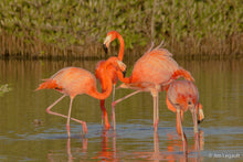 Discover the flamingos for the sunset with Diego