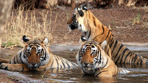 Total immersion in wildlife at Corbett Reserve with Gurav