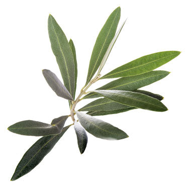 Olive Leaf - 1 oz - All Naturell Healing