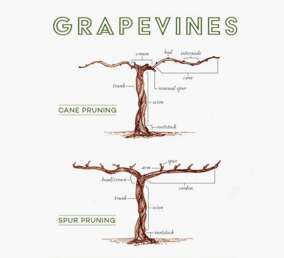 Learn To Prune A Grapevine Pruning Workshop Lunch Sat 9th Feb