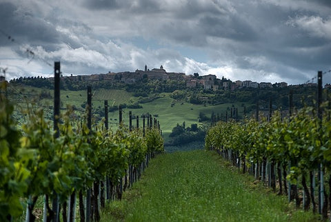 Verdicchio vines growing in Cupramontana, in Marche region of Italy