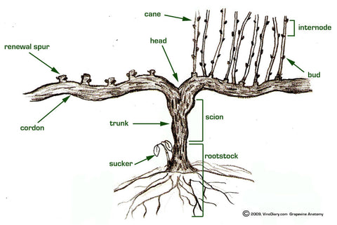 Diagram of a vine with details to assist with pruning.