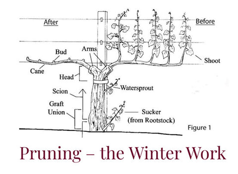 A diagram of a vine structure entitled 'Pruning - 'The Winter Work'