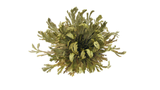 Rose of Jericho: Resurrection Plant