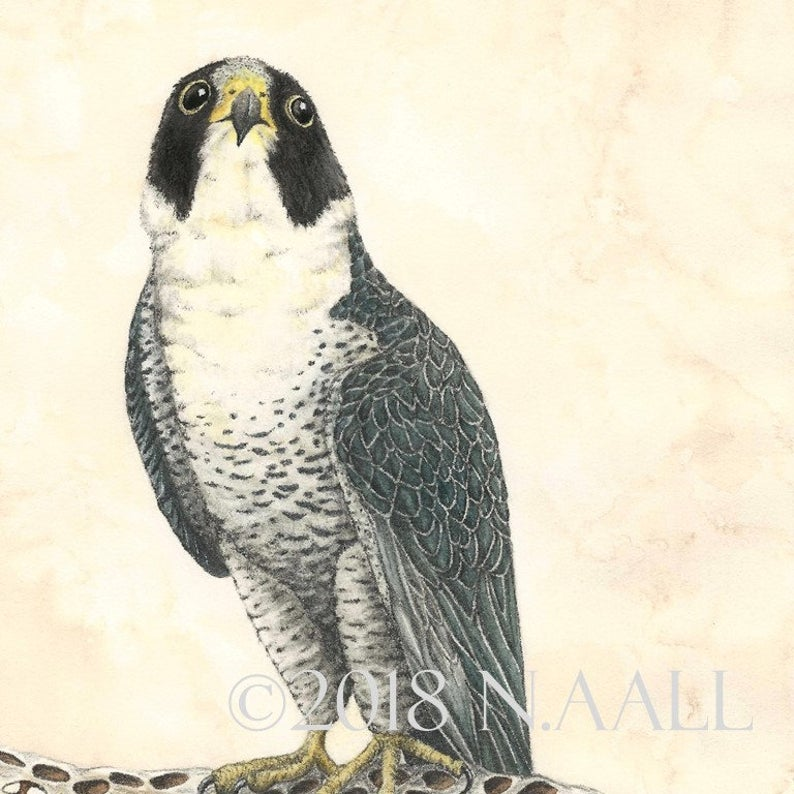 "(c) Aall Forms of Life ""Peregrin Falcon"""