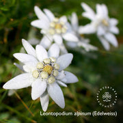 Edelweiss Eye Serum (with plant stem cells)