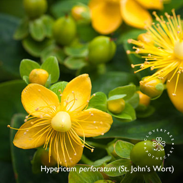 St. John's Wort Therapy Oil