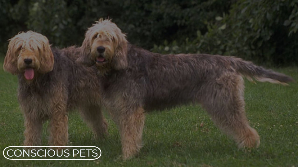 Rare And Interesting Breeds - The Otterhound