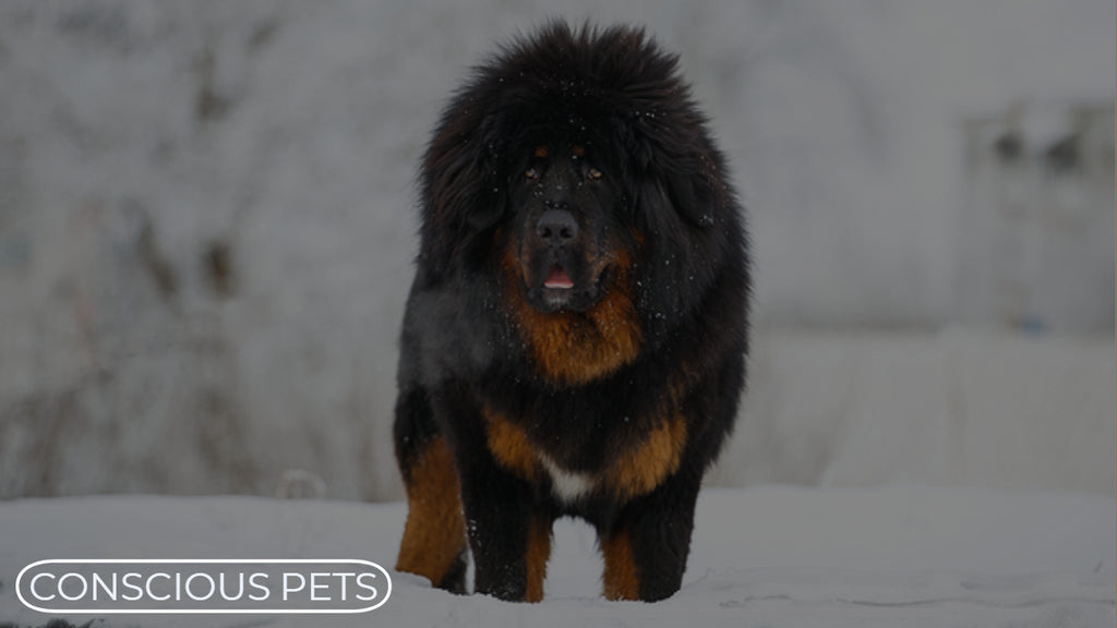 Rare And Interesting Dog Breeds - The Tibetan Mastiff