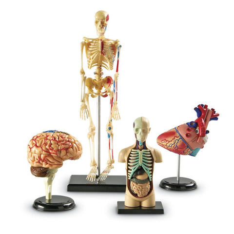 Image of Learning Resources Anatomy Models: Set of heart brain body and Skeleton - 765023033380