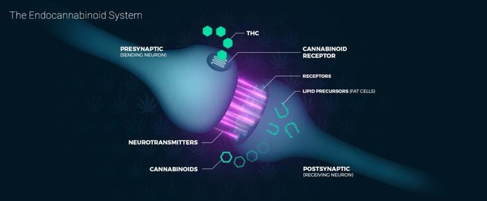The Endocannabinoid System Explained: An Ultimate Guide