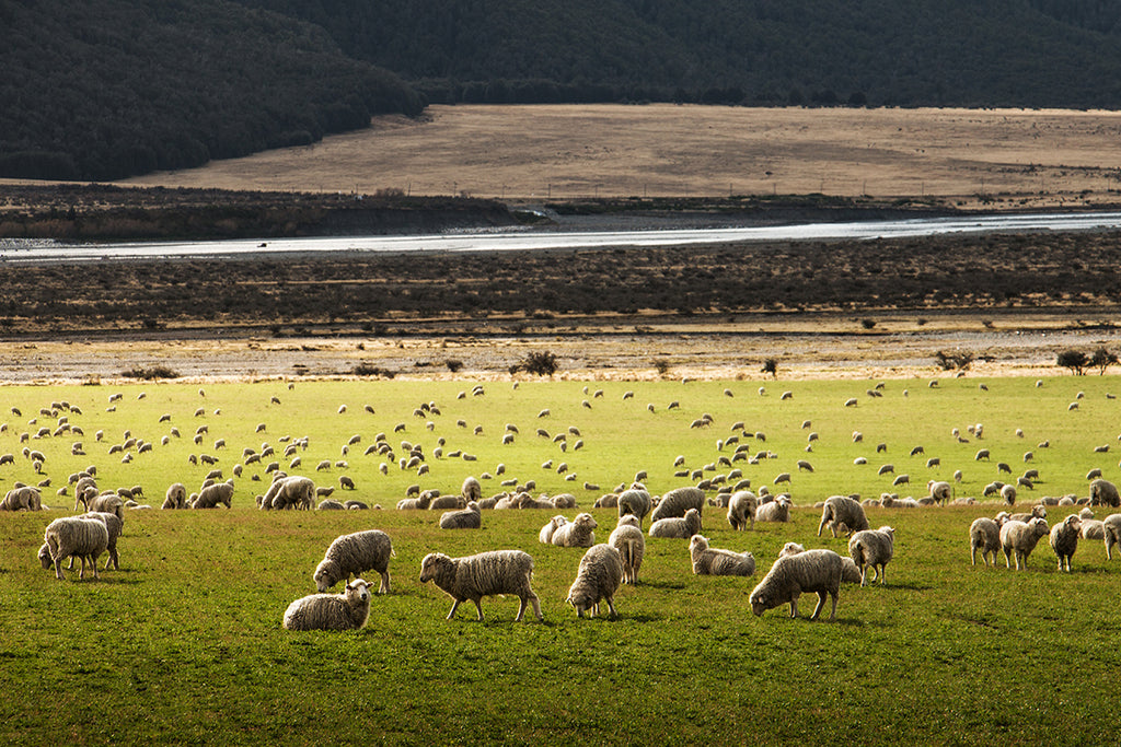our merino wool socks begin with fluffy sheep bouncing around luscious green pastures.