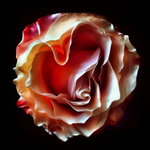 """Heart Rose"" by Adrienne Anbinder, Museum Quality Canvas Print"
