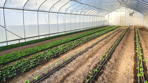 Young crops in the High Tunnel