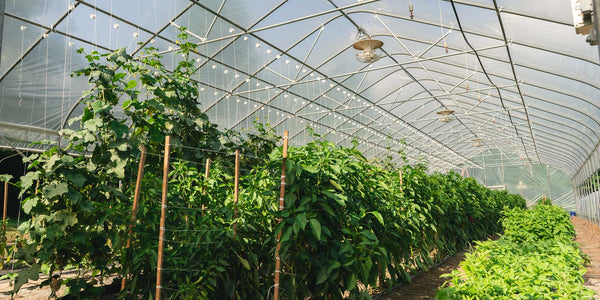 Cucumbers reach for the sky in the high tunnel