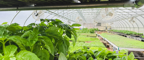 Basil peering out over Greenhouse