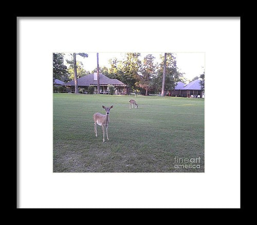 Deer On Golf Course - Framed Print