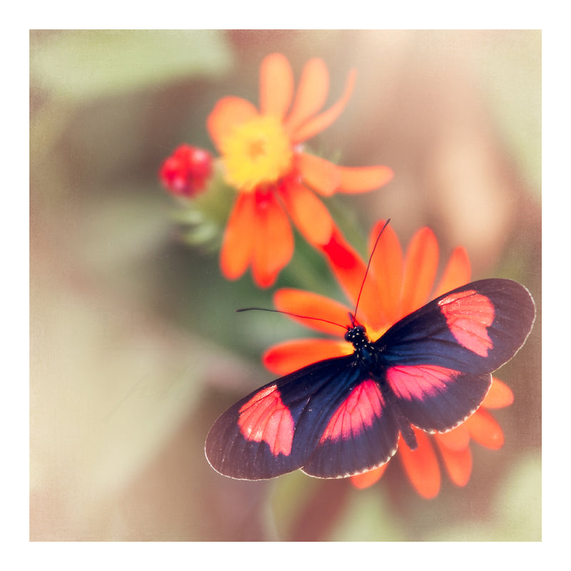 Black and Pink Butterfly on an Orange Flower by Tracey Capone