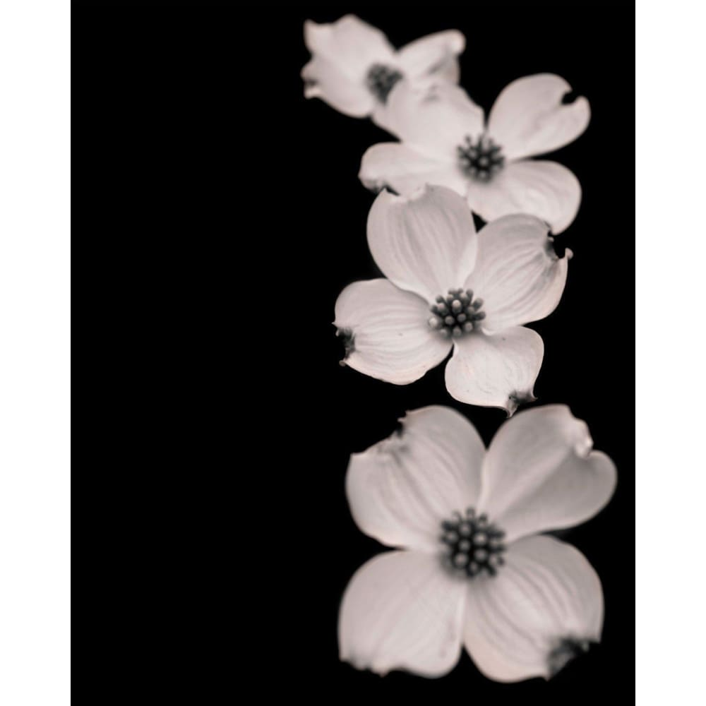 Cascade Black White Dogwood Photograph Tracey Capone