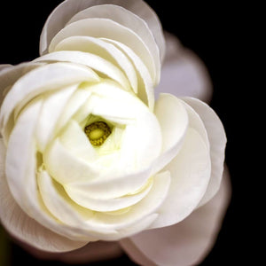 Center Light No. 3 | White Ranunculus-Tracey Capone Photography