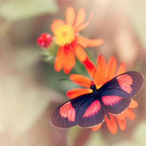 Color Pop | Pink & Black Butterfly-Tracey Capone Photography