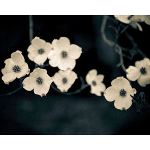 Cornouiller | White Dogwood Flowers-Tracey Capone Photography