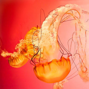 Fire | Red & Pink Jellyfish-Tracey Capone Photography