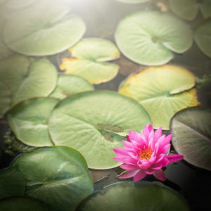 From The Darkness | Pink Lotus Picture Tracey Capone Photography