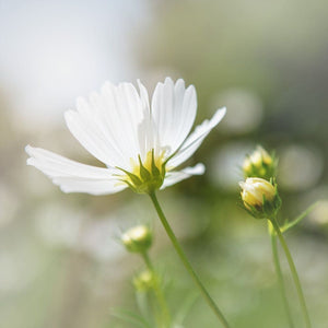 Nature Photography | Photograph Of A Single White Cosmos Flower Tracey Capone Photography