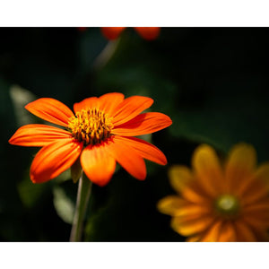 Orange Daisy Photograph | Nature Photography | Wall Art Print Tracey Capone Photography