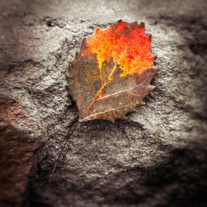 Photograph Of A Fall Leaf | Autumn Wall Decor Tracey Capone Photography