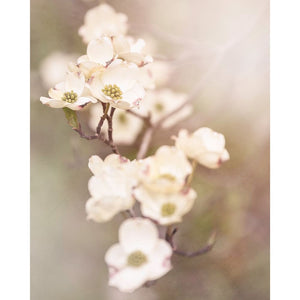 White Dogwood Photograph, Nature Photography Tracey Capone