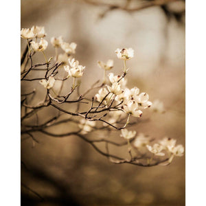Allure | Dogwood Flowers in Spring - Tracey Capone Photography