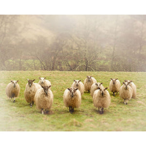 Photograph Of Flock Of Scottish Sheep | Nature Photography Tracey Capone Photography