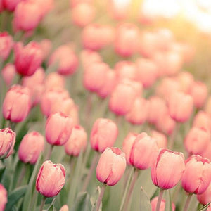 Afternoon Haze | Pink Tulips in Sunlight - Tracey Capone Photography
