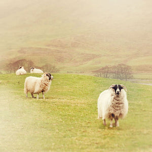 Photograph Of Sheep In Scotland | Travel And Landscape Photography Tracey Capone Photography