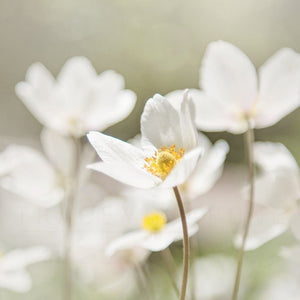 Photograph Of White Anemone Flowers | Floral Art Tracey Capone Photography