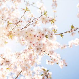 Photograph Of White Cherry Blossoms | Nature Photography Tracey Capone Photography