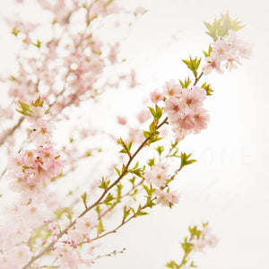 Pink Cherry Blossom Photograph | Flower Photography Tracey Capone Photography