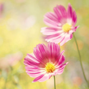 Pink Cosmos Flower Photography | Nature Wall Art Tracey Capone Photography