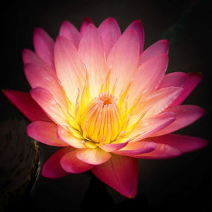 Pink Lotus Flower | Nature Photograph Tracey Capone Photography
